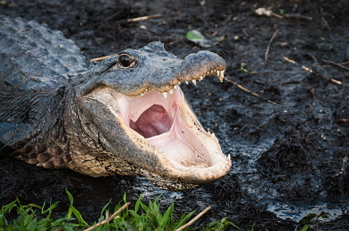 Alligator with jaws wide open 637520118