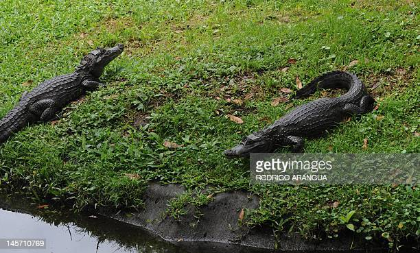 Alligators are seen at the National Biodiversity Institute on May 31 2012 in Heredia Costa Rica Next June 5 celebrates World Environment Day AFP...