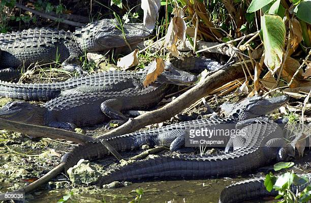 Alligators crowd into drying water March 1 2001 in Everglades National Park at Shark Valley because of the continuing drought that may be the worst...