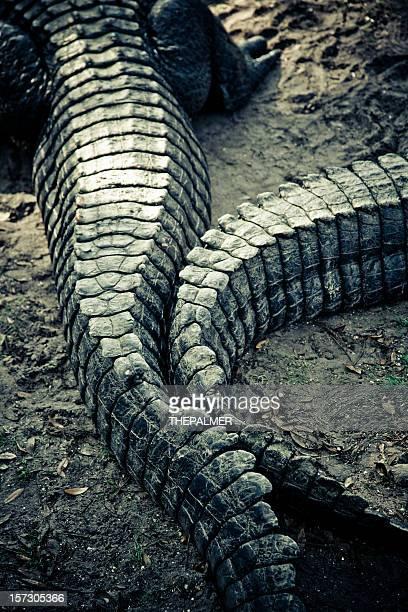 alligators tail