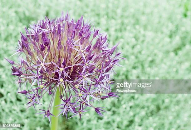 Allium Allium christophii