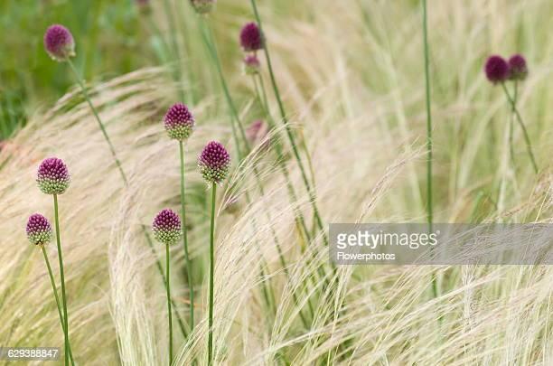 Allium Allium sphaerocephalon