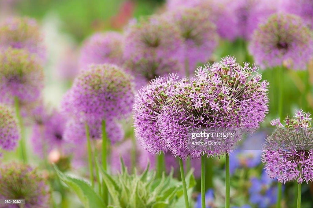 Allium Blooming : Stock Photo