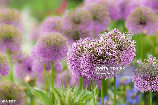 allium blooming - andrew dernie stock pictures, royalty-free photos & images