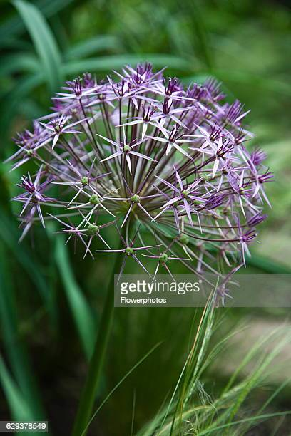 Allium christophii Close view of spherical umbel of star shaped flowers England West Sussex Chichester