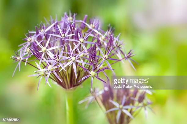 Allium Cristophii purple flower heads opening in a summer garden