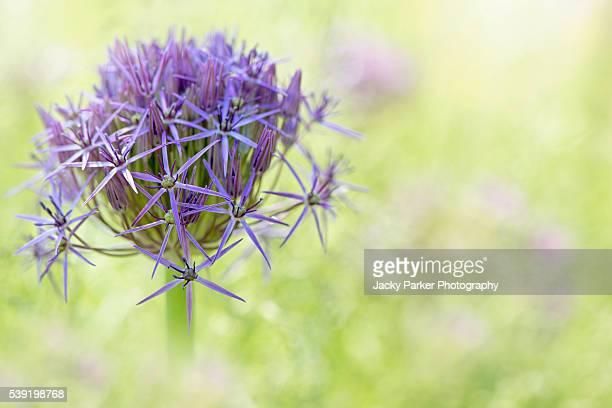 allium cristophii - star of persia purple flower - allium flower stock pictures, royalty-free photos & images
