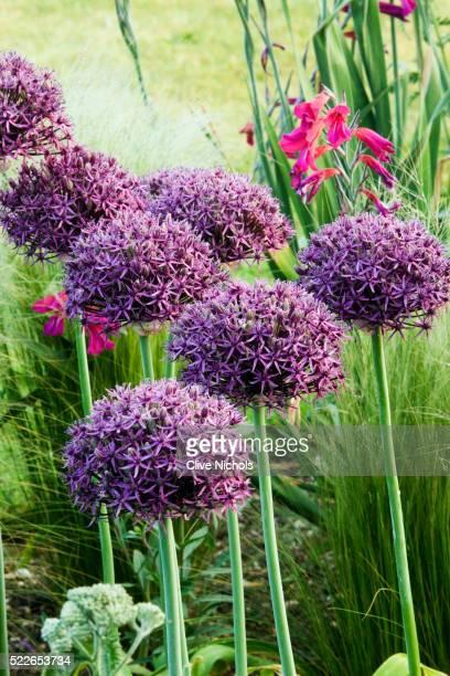 allium 'firmament' - allium flower stock pictures, royalty-free photos & images