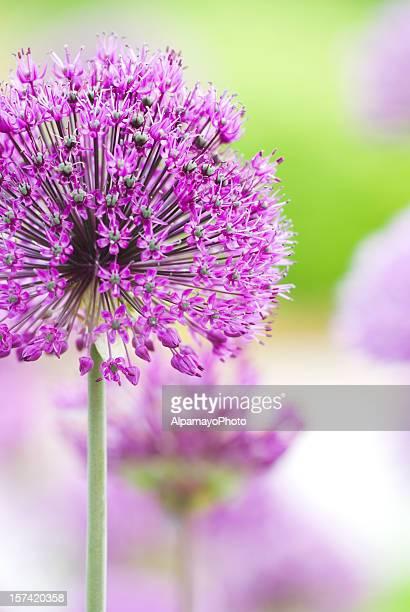 Allium flower - I