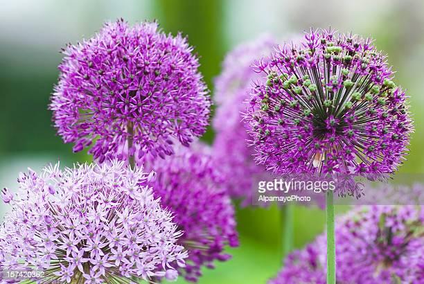 allium flower - vii - allium flower stock pictures, royalty-free photos & images