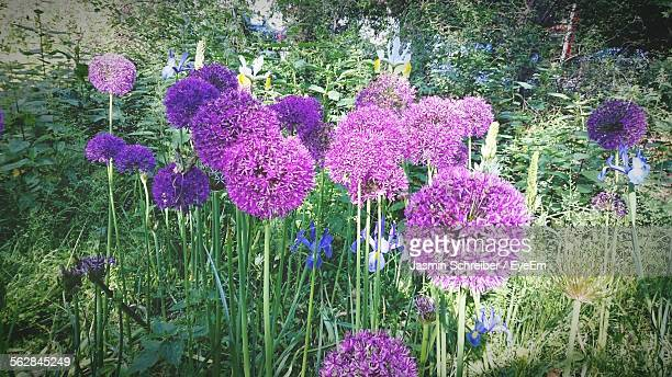 Allium Flowers Blooming In Park