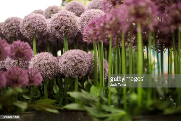 Allium flowers on display at the Chelsea Flower Show on May 22 2017 in London England The prestigious Chelsea Flower Show held annually since 1913 in...
