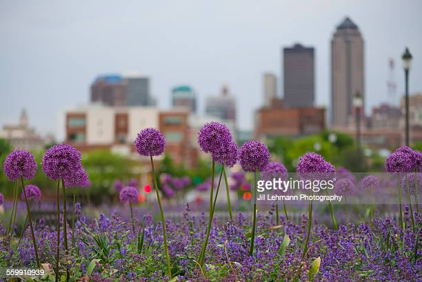Allium flowers overlooking Des Moines