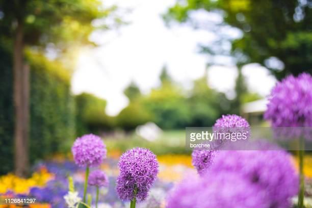 jardin d'allium - jardin fleuri photos et images de collection