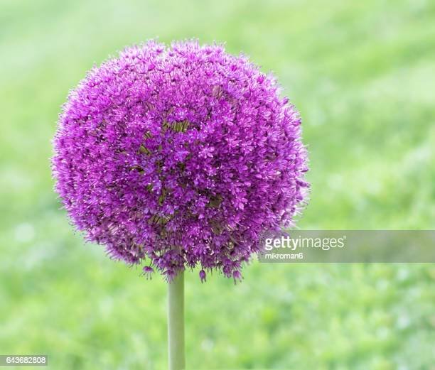 Allium giganteum, common name giant onion flower
