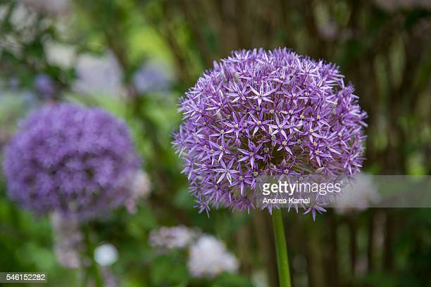 Allium Giganteum - Giant onion, Hamburg, Germany