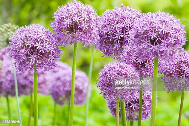 Allium 'Globemaster' ornamental onion - XI