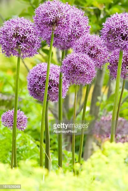 Allium'Globemaster'Enten-Zwiebel-XII