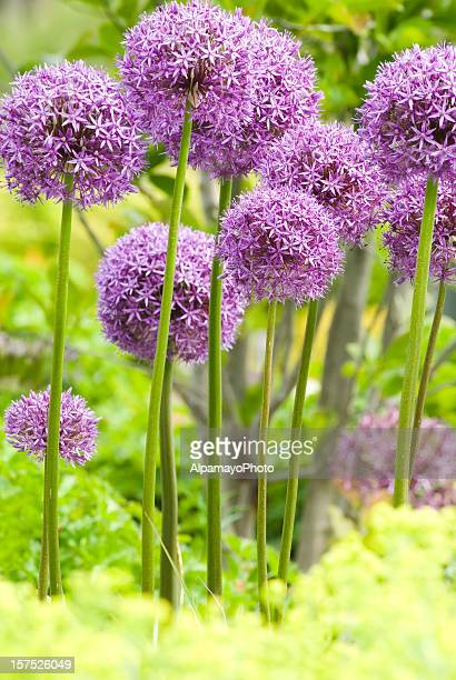 Allium 'Globemaster' ornamental onion - XII