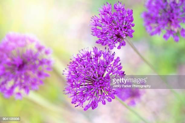 Allium hollandicum 'Purple Sensation', common names include Persian onion or Dutch garlic