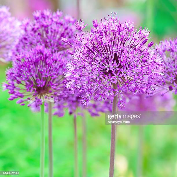 Allium hollandicum 'Purple Sensation'  (square composition) - I