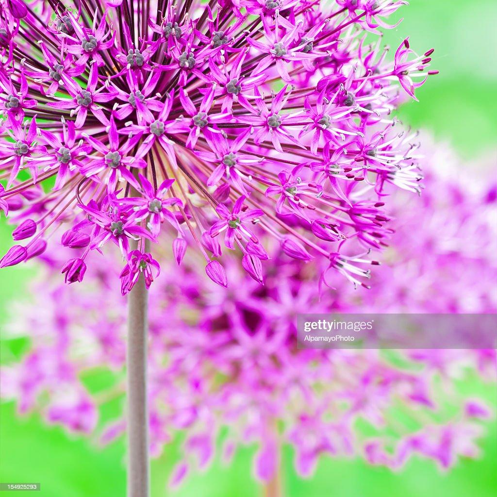 Allium Hollandicum Purple Sens...