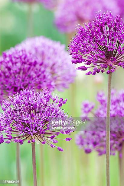 Allium hollandicum 'Purple Sensation' - III