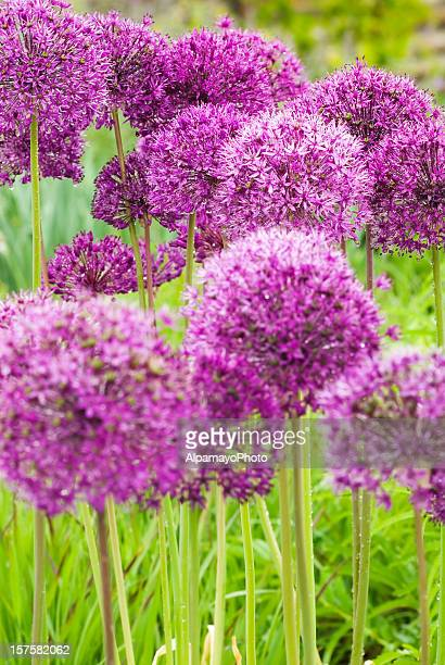 Allium hollandicum 'Purple Sensation' - XI