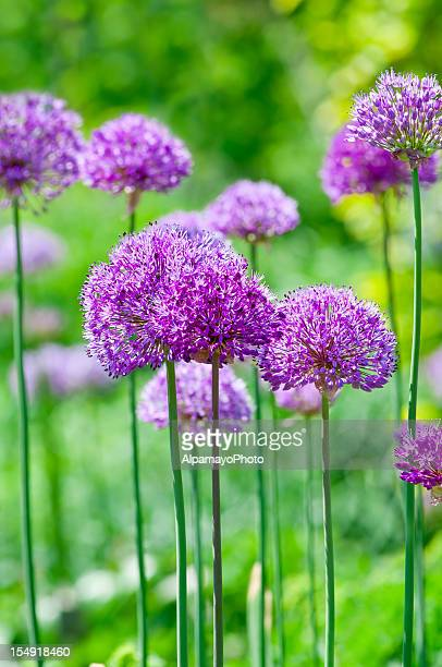 Allium hollandicum 'Purple Sensation' - XVIII