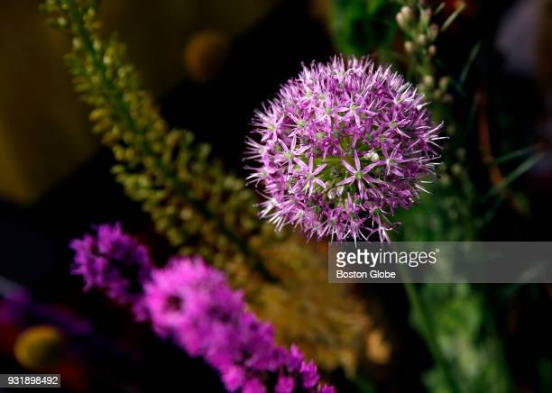 Allium is pictured in an arrangement at The Boston Flower and Garden Show at the Seaport World Trade Center in Boston on March 12 2018