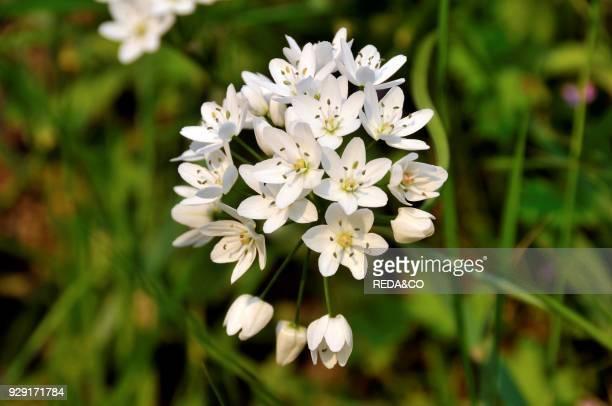 Allium neapolitanum Naples Garlic