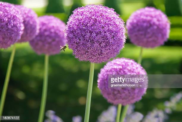 allium - allium flower stock pictures, royalty-free photos & images
