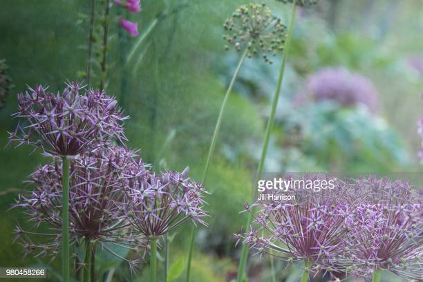 allium - jill harrison stock pictures, royalty-free photos & images
