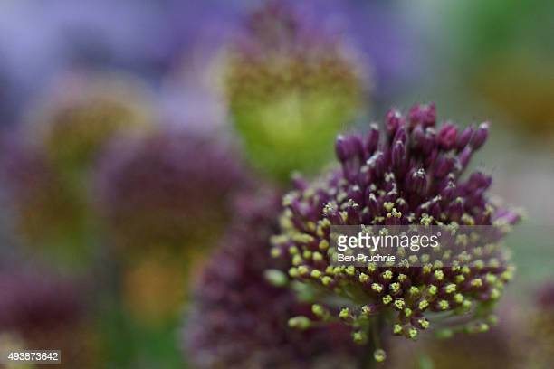 A allium sphaerocephalon is displayed at The RHS London Shades of Autumn Show on October 23 2015 in London England The exhibition held at the RHS...