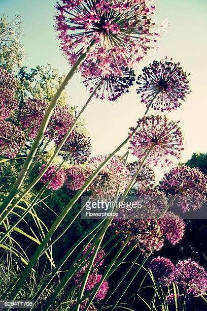 Allium variety not identified