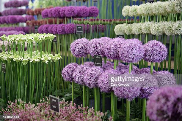 Alliums are displayed during the press preview day of the Hampton Court Palace Flower Show on on July 4 2016 in London England The Hampton Court...