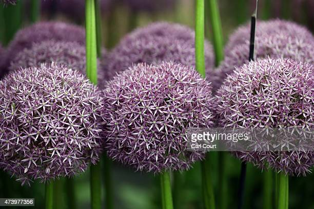 Alliums are seen on display on the first public day of the Chelsea Flower Show on May 19 2015 in London England The show which has run annually since...