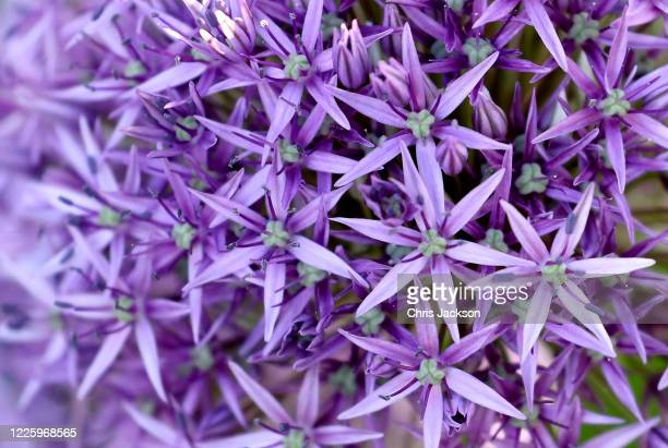 Alliums during lockdown at The Royal Botanic Gardens at Kew Kew on May 13 2020 in Richmond England The gardens remain closed to the public due to the...