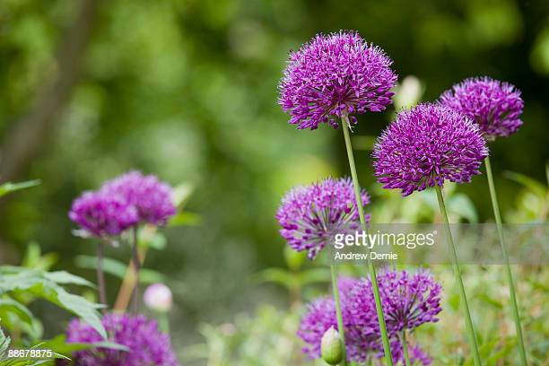 alliums - andrew dernie stock pictures, royalty-free photos & images