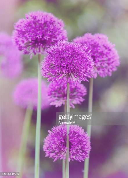 alliums - allium flower stock pictures, royalty-free photos & images