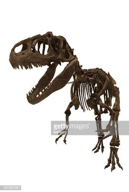 allosaurus - animal skeleton stock photos and pictures