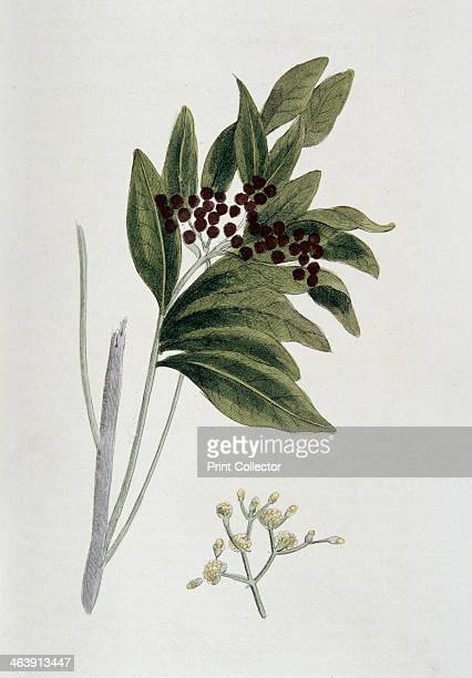 Allspice 1823 Pimenta dioica/P officinalis native to West Indies and Central America The berries of the tree provide an aromatic spice From Nature...