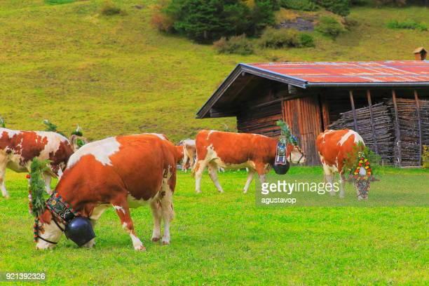 almabtrieb: kuh hüten mit blume kronen – zillertaler alpen, tirol-österreich - almabtrieb stock-fotos und bilder