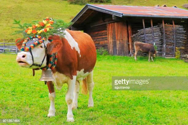 almabtrieb: kuh muhen mit blume krone – zillertaler alpen, tirol-österreich - almabtrieb stock-fotos und bilder