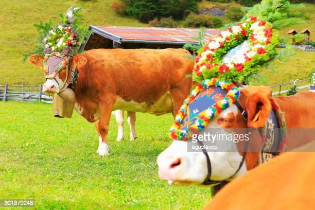almabtrieb: kühe mit blumen kronen parade – zillertaler alpen, tirol-österreich - almabtrieb stock-fotos und bilder
