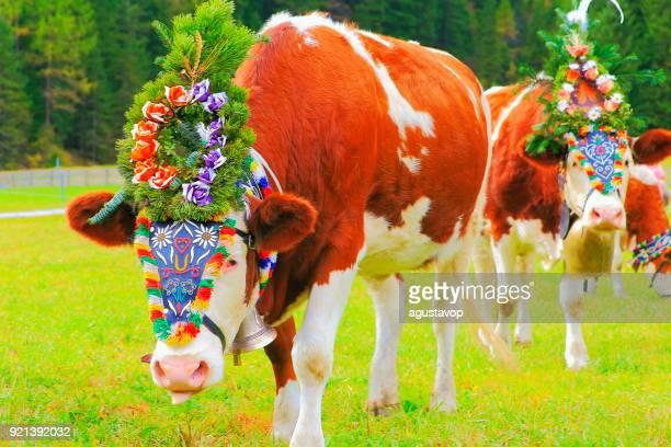Almabtrieb: Cows with flowers crowns parade – Zillertal alps, Tirol – Austria