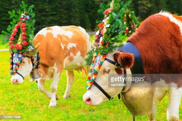 almabtrieb: kühe mit blumen kronen öffentliche parade – zillertaler alpen, tirol-österreich - almabtrieb stock-fotos und bilder