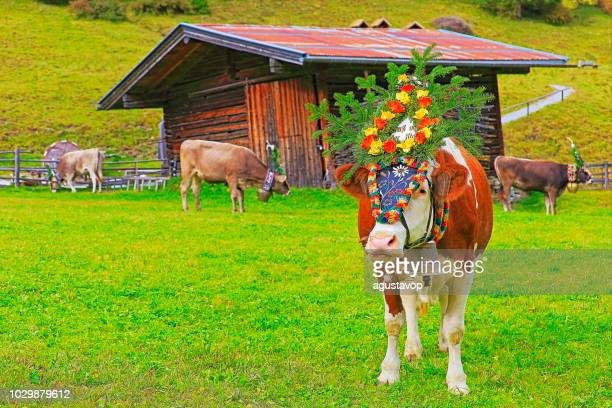 Almabtrieb: Cows with flowers crowns public parade – Zillertal alps, Tirol – Austria