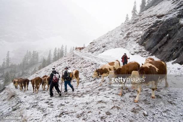 almabtrieb, driving cattle from the mountain pasture in the snow, stallental, karwendel mountains, tyrol, austria - almabtrieb stock-fotos und bilder