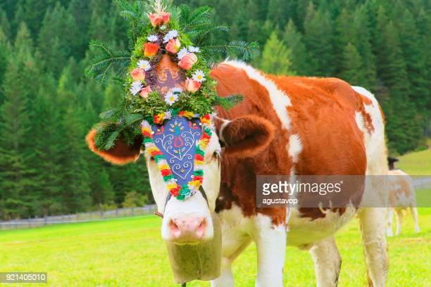 almabtrieb: einsame kuh mit blume krone parade – zillertaler alpen, tirol-österreich - almabtrieb stock-fotos und bilder